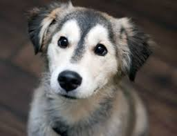 husky lab mix puppy. Simple Lab Labrador Husky Mix On Husky Lab Mix Puppy Y