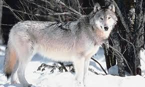 grey wolf size grey wolf facts size diet habitat information
