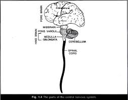 essay on human brain structure and function the parts of the central nervous system