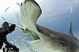 great hammerhead shark eating. Beautiful Eating Hammerhead Shark Eats Out Of Diveru0027s Hand  GrindTVcom An Experienced  Diver  Eli Martinez Who Leads Diving Tours In The Bahamas Took Multiple  On Great Shark Eating S