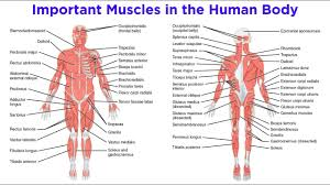 Muscular system labeled.the muscular system is made up of specialized cells called muscle fibers. The Muscular System Youtube