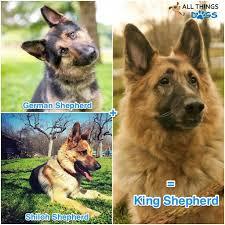king shepherd appearance