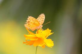 yellow erfly wallpaper