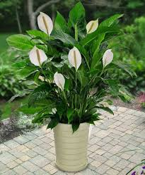 An Easy To Care Plant Peace Lilies Make Excellent Indoor Flowering Plants  Because Of Their Capacity