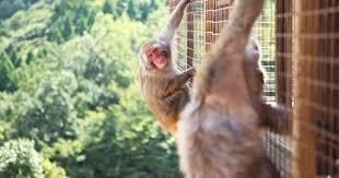 <b>Beware of monkey</b>, don't make 'eye-to-eye contact,' Marine Corps Air ...