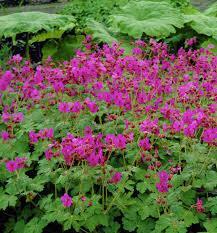 geranium macrorrhizum bevan s variety