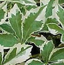 Acanthopanax Eleutherococcus Sieboldianus Variegatum Five