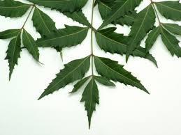 herbal remedies health benefits of neem healthy living  herbal remedies 20 health benefits of neem