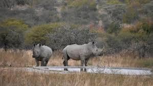 Rhino poaching in South Africa declines during coronavirus lockdown