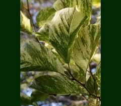 Magnolia x 'Fran Smith'