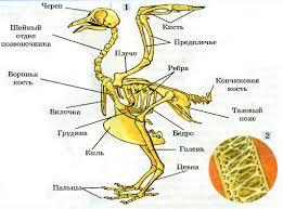 Внутреннее строение птиц скелет и мускулатура Биология  Скелет птицы 1 и внутреннее строение кости 2