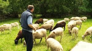 Edmonton 'shepherd' faces $25,000 fine over secret <b>urban flock</b> ...