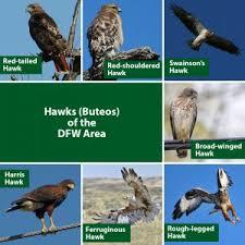 Dfw Raptors Hawks Falcons And Eagles Dfw Urban Wildlife