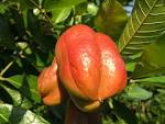 Images & Illustrations of ackee