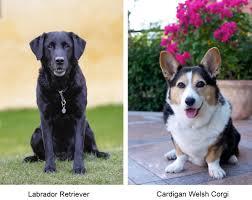 corgi lab mix puppies. Delighful Mix Black Labrador Retriever With Corgi Lab Mix Puppies