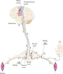 simplified schematic of organization and integration of somatosensory and motor systems dashed lines indicate mehg