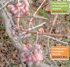 Pruning Grapevines