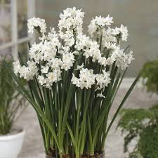 Paper White Flower Bulb Bulk Paperwhites 100 Narcissus Bulbs In A Twig Gift Basket Easy