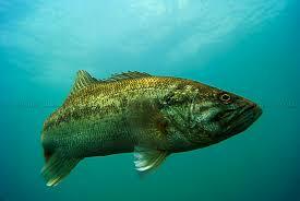 largemouth bass underwater. Interesting Largemouth Largemouth Bass Underwater Inside Largemouth Bass Underwater