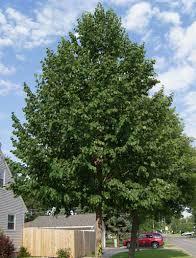 Honeycrisp Apple  Apple Trees  Stark Brou0027sHybrid Fruit Trees For Sale
