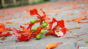 Kết quả hình ảnh cho hoa phượng