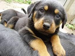 german shepherd rottweiler mix puppies. Unique Rottweiler German Shepherd Rottweiler Mix With German Shepherd Rottweiler Mix Puppies A