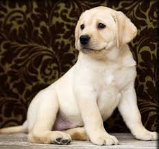 english yellow lab puppies. Exellent Yellow Black Labrador Puppies  Chocolate Lab Puppies Yellow Retriever  For English