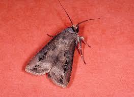 Black Cutworm Armyworm Moth Captures Show A Big Increase