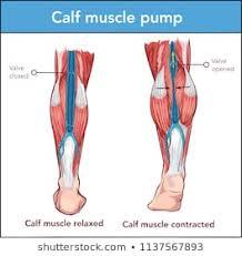 Calf Anatomy Photos 1 448 Calf Stock Image Results