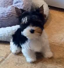 cute yorkie puppies for sale. Interesting For Cute Teacup Yorkies For Sale In Yorkie Puppies For Sale