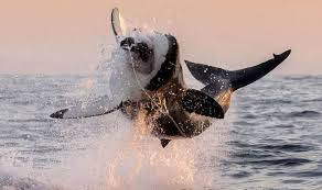 great white shark jumping for seal.  Seal Shark Leaps Out Of Water To Attach Seal To Great White Jumping For Seal