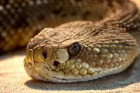 rattlesnake. Wonderful Rattlesnake Rattlesnake Close Up Inside B