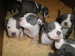 If your pit bull mix is. Just 4 Puppies Left American Staffordshire Terrier Puppies For Sale 2 Bull Terrier Puppy American Staffordshire Terrier Puppies Blue Nose Pitbull Puppies