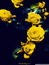 Yellow Roses Ultra HD Desktop ...
