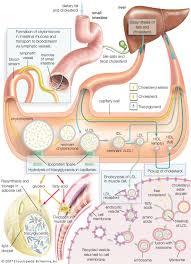 High Density Lipoprotein Biochemistry Britannica