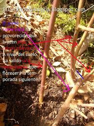 Días De Rosas Cultivo De Rosales Miniatura I Como Separar EsquejesCuidados De Los Rosales