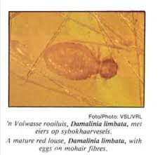 Goat Lice Red Louse Is Host Specific