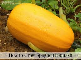 spaghetti squash growing in the garden