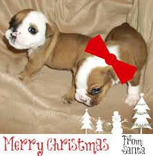 Bulldog Pros Blog | English Bulldog Puppies For Christmas