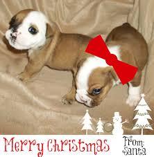 Bulldog Pros Blog | English Bulldog Puppies For Christmas