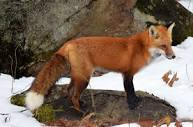 www.nrcm.org/wp-content/uploads/2018/12/Red-fox-wi...