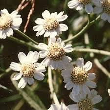 Achillea ptarmica Sneezewort Lus corráin