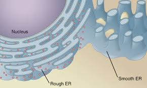 Endoplasmic Reticulum Smooth Endoplasmic Reticulum Function And Their Structure