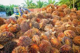 Polynesian Produce Stand  10 FOXTAIL Palm Tree Wodyetia Bifurcata Palm Tree Orange Fruit