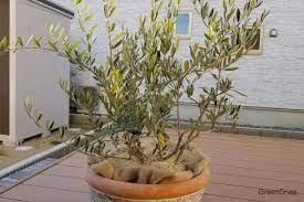 オリーブ の 木 剪定
