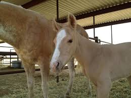 white baby horses playing. Interesting Playing To White Baby Horses Playing T