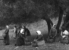 Αποτέλεσμα εικόνας για Εικόνες για ελαιώνες  Άμφισσας