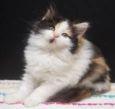 calico kittens for sale. Perfect Sale Ragdoll Breeder Rare Colours Cinnamon  Throughout Calico Kittens For Sale F