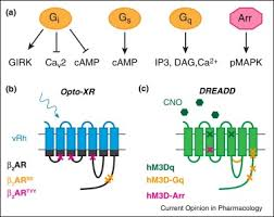 Gpcr Signaling Optogenetic Approaches For Dissecting Neuromodulation And