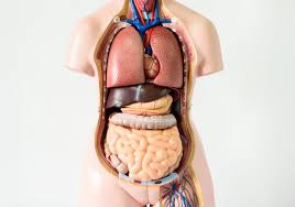 Organs In The Human Body Seven Body Organs You Can Live Without